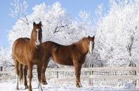 stadnina koni w zimie